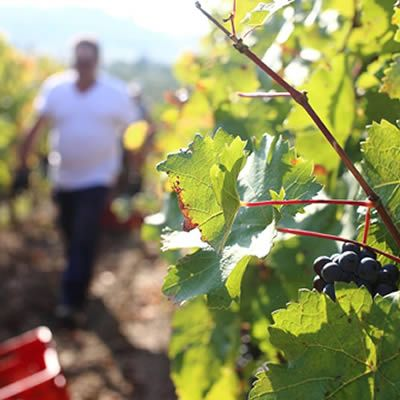 Special offer to discover Tuscan wine and harvest experience